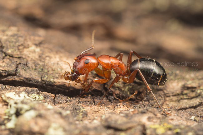 A Carpenter Ant (Camponotus Sayi) preys on a smaller fire ant species.