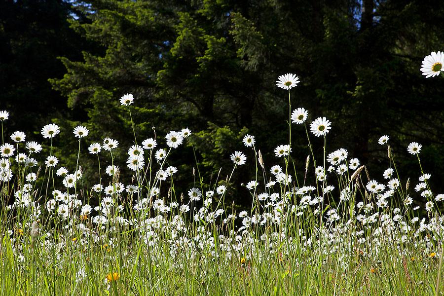 Wildflowers in Olympic National Park, Washington State, WA, USA
