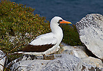 Nazca Booby, in profile, stands alone on a gray rock along the shore of the South Plaza, Santa Cruz Island, in the Galapagos, with the ocean and typical island flora in the background.