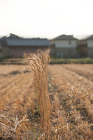 Kagawa wheat growing before the rice crop on the outskirts of Takamatsu city.