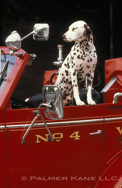Dalmation on an antique fire truck