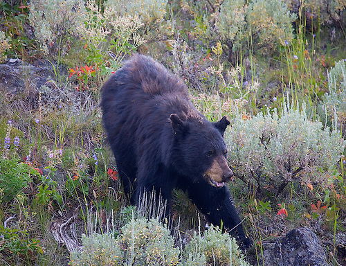 A black bear forages in the Lamar Valley at Yellowstone National Park, Wyoming.