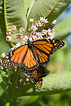 Two Monarch butterflys feed on a Milkweed plant in Jamaica, Vermont.