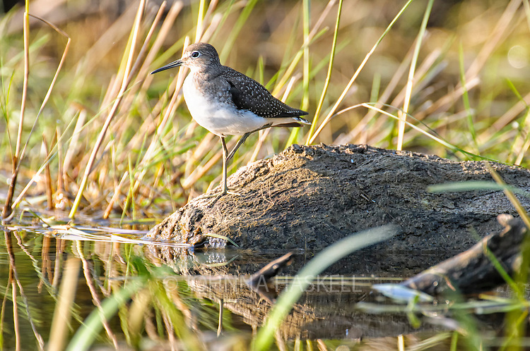 Sandpiper on rock balanced on one leg.