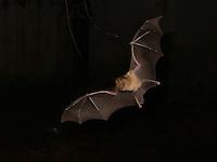 Pipistrelli.Bats. Rhinolophus Ferrumequinum.Le foto sono messe gentilmente a disposizione dal prof. Paolo Agnelli, responsabile del progetto del dipartimento di zoologia dell'Università di Firenze...