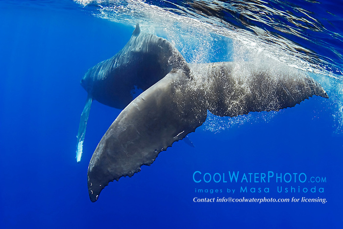 Humpback Whale fluke, Megaptera novaeangliae, Hawaii, Pacific Ocean