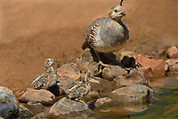 574470018 a wild female gambel's quail and her chick drink from  small pond near green valley arizona united states