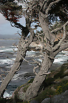 cypress trees at Pt. Lobos State Reserve