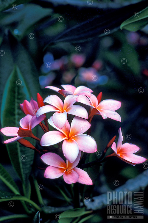 This close-up of a burst of elegant pink plumeria blossoms reaching upwards from a tree branch are kissed with morning dew