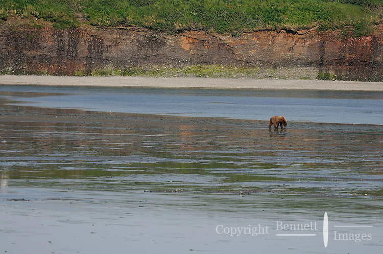 A grizzly  wanders the lagoon at low tide in search of clams in Alaska's McNeil River State Game Sanctuary.
