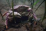 Rock crab in eel grass habitat.