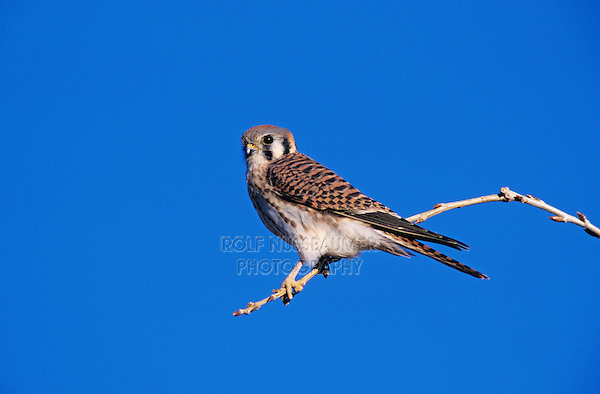 American Kestrel, Falco sparverius, male, Bosque del Apache National Wildlife Refuge , New Mexico, USA, December 2003