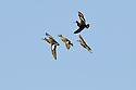 00318-007.01 American Wigeon flock of in flight.  Fly, action, hunt, courtship.