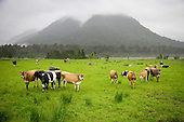 Dairy cows on the Kowhitirangi flats belo Mount Misery, Westland District, West Coast, South Island, New Zealand.