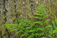 Lady Fern and Douglas Fir