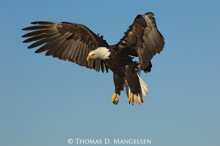 Bald eagle spreads its wings at Kachemak Bay in Homer, Alaska.
