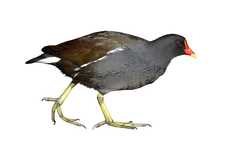 Moorhen Gallinula chloropus L 32-35cm. Familiar wetland bird. Swims with jerky movements and constantly flicks its tail. Often tame on urban lakes. Sexes are similar. Adult can look all-dark but has dark blue-grey head, neck and underparts, and brownish back, wings and tail. Has yellow-tipped red bill and frontal shield, and yellow legs and long toes. Note white feathers on sides of undertail and a white line along flanks. Juvenile is greyish brown with white on throat, sides of undertail coverts, and along flanks. Voice Utters a loud kurrrk. Status Common resident on all sorts of wetland habitats, from village ponds to flooded gravel pits and lakes.