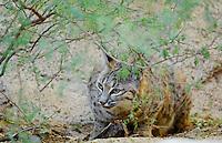 Bobcat feeding on small bird it has caught.