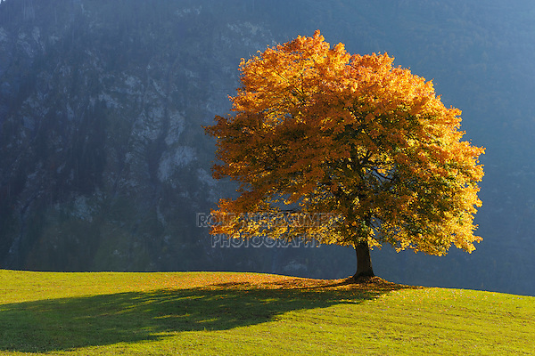 Linden tree (Tilia sp.), tree in autumn, Klausenpass, Switzerland, Europe