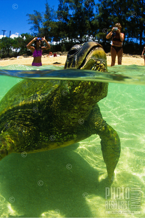 """Endangered Green Sea Turtles can be seen up close and personal in the clear waters at Laniakea Beach on Oahu's north shore. Their Hawaiian name is """"""""Honu"""""""". Scientific name (Chelonia mydas)"""