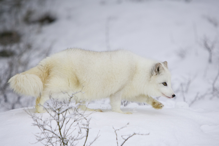Arctic fox walking on a snowy hill - CA