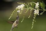 Anna's Hummingbird.Calypte anna.Stevenson Ranch, Ca..July 7, 2007. Fitzroy Barrett