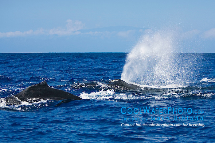 Humpback Whales in a competitive, high-speed heat run with Maui's Haleakala volcanic mountain in the background, trailing whale blowing with enormous sounds, Megaptera novaeangliae, Hawaii, Pacific Ocean.