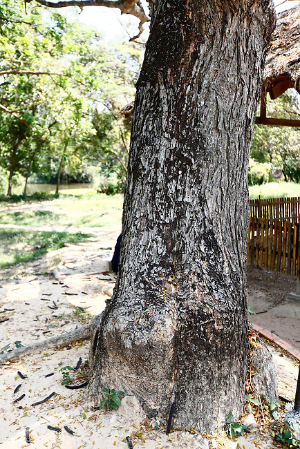 A Chankiri tree, or Killing Tree, at the Choeung Ek Genocidal Center near Phnom Penh, Cambodia. Nearly 1.4 million people are estimated to have been killed and buried at Choeung Ek and other Killing Fields under the Khmer Rouge regime of 1975 to 1979. To save ammunition, the victims were generally bludgeoned to death or had their throats slit. At Choeung Ek, the executioners killed small children and infants by smashing their heads against this tree. March 1, 2012.