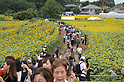 Sunflowers in bloom in Tokyo