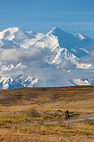 North and south summits of the Denali are visible as a bicycle rider travels the gravel park road through the Thorofare flats, Interior, Alaska.
