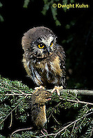 OW03-026z  Saw-whet owl - with mouse prey - Aegolius acadicus