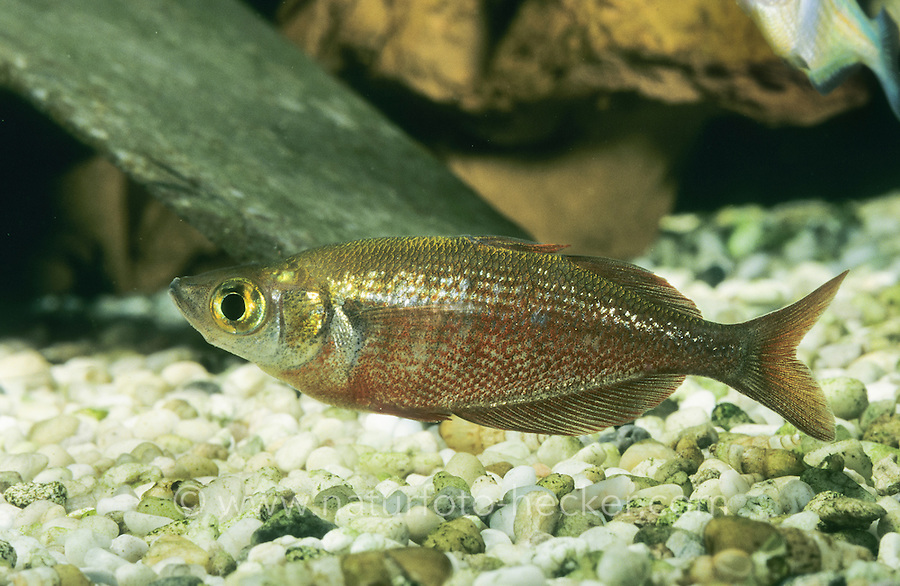 Lachsroter Regenbogenfisch, Roter Regenbogenfisch, Glossolepis incisus, red rainbowfish, salmon-red rainbowfish, New Guinea Red Irian Rainbowfish, Regenbogenfische