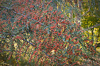 Red Pyracantha atalantioides berries on evergreen shrub at Quarry Hill Botanical Garden in autumn