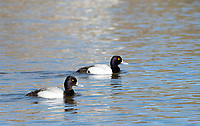 Two male Lesser Scaups, Aythya affinis, swim on Upper Klamath Lake, Oregon