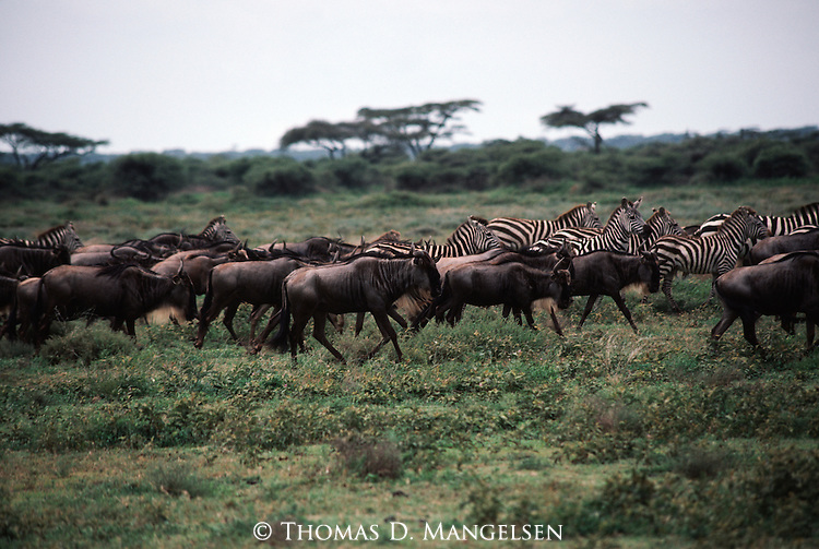Herds of Burchell's zebra and blue wildebeest travel across the African plain.