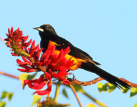 Black-vented oriole on coral bean blossom
