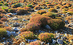 Mediterranean garrigue vegetation, Marfa peninsula, Malta