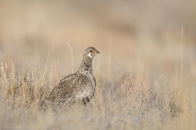 Adult female Gunnison Sage-Grouse (Centrocercus minimus). Gunnison County, Colorado. April.