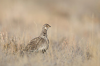 Adult female Gunnison Sage-Grouse (Centrocercus minimus). Gunnison County, Colorado. April.