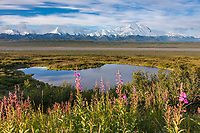 Pink blooming fireweed and Denali, overlooking the McKinley river and tundra ponds, Denali National Park, Interior, Alaska.
