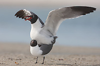 Laughing Gulls (Larus atricilla) mating