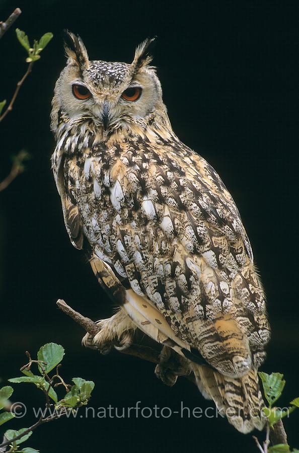 Bengalen-Uhu, Bengalenuhu, Bengalischer Uhu, Bubo bengalensis, Bubo bubo bengalensis, Indian Eagle-Owl, Rock Eagle-Owl, Bengal Eagle-Owl