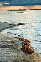 Tång på en häll i Stockholms skärgård. / Seaweed in the Stockholm archipelago in Sweden.