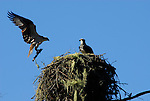 Osprey returning to nest with stick along Russian River