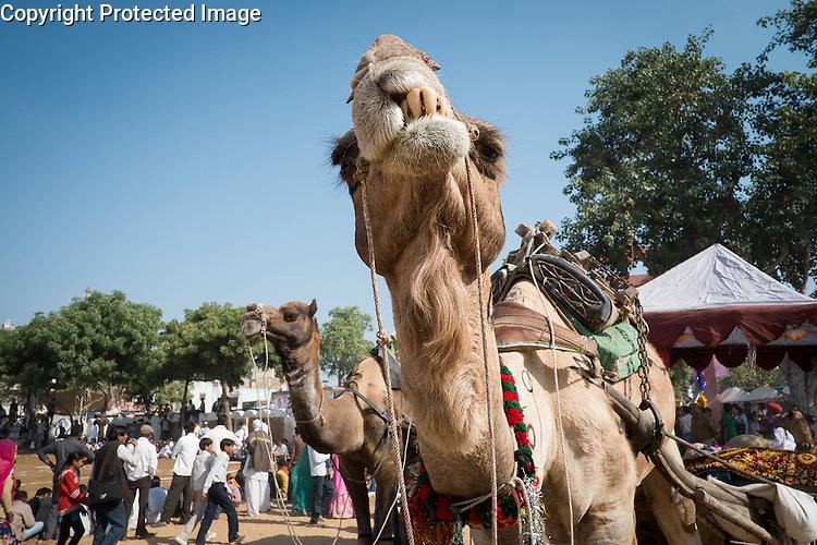 The Pushkar Camel Fair, Pushkar, Rajasthan, India is held every November at the time of the Kartik Purnima full moon.