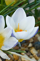 Crocus chrysanthus 'Blue Bird'