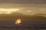 Orca whale breathing off Seattle, Puget Sound, Bainbridge Island, Olympic Mountains in the distance, winter, Washington State, Pacific Northwest, USA,.