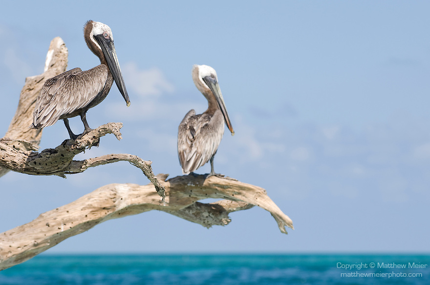 Long Caye, Glover's Reef Marine Reserve, Belize, Central America; two Brown Pelicans (Pelecanus occidentalis) sit perched on a dead tree emerging from a sand bar off Long Caye , Copyright © Matthew Meier, matthewmeierphoto.com All Rights Reserved