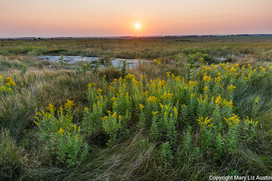 Blue Mound State Park, Minnesota: Field of goldenrod (Solidago speciosa) at sunset