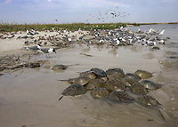 Laughing Gulls; Larus atricilla and Larus argentatus; feeding on horseshoe crab; NJ, Delaware Bay